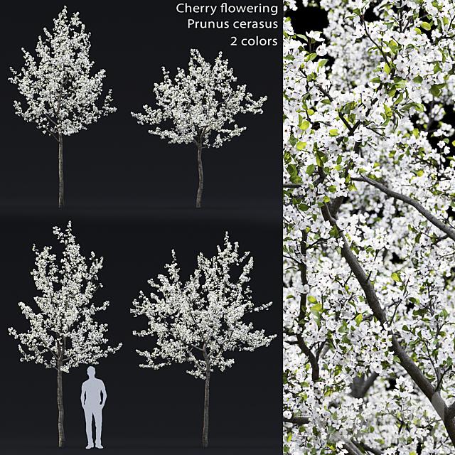 Prunus cerasus | Cherry flowering #4