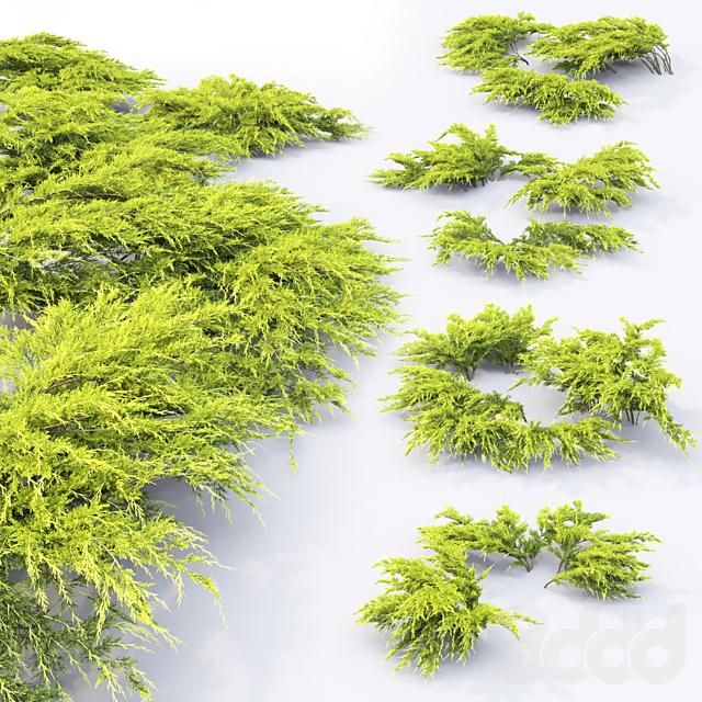 Можжевельник средний Ауреа   Juniperus Pfitzeriana Aurea #1