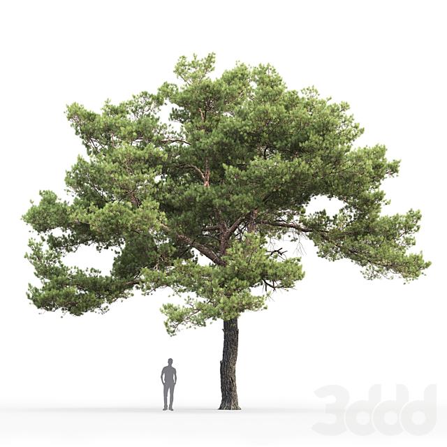 Сосна обыкновенная   Pinus sylvestris #20 (12.2m)