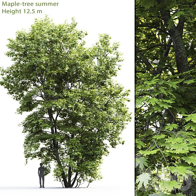 Клён | Maple-tree #4 (12.5m)