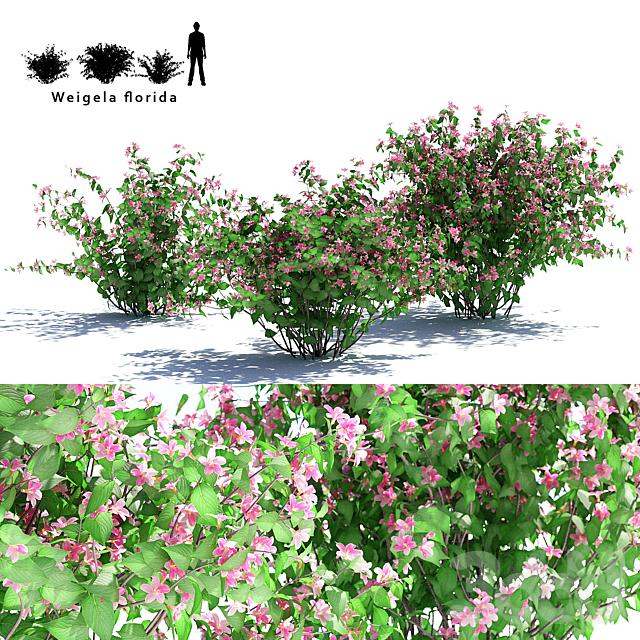 Вейгела цветущая 3 куста | Weigela florida