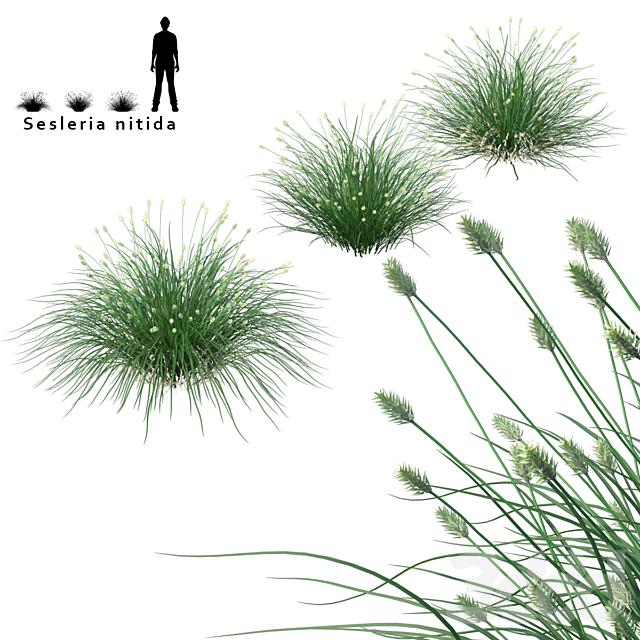 Сеслерия блестящая декоративные злаки   Sesleria nitida