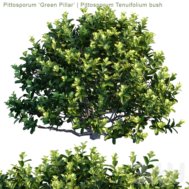 "Pittosporum ""Green Pillar"" 