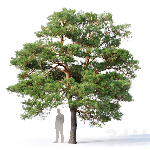 Pinus sylvestris #5 H7-10m Three tree set
