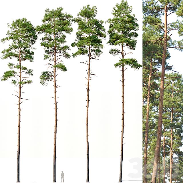 Pinus sylvestris # 12 H24-27m Four tree set