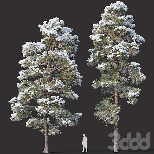 Pinus sylvestris # 15 H12,14m. Two winter trees