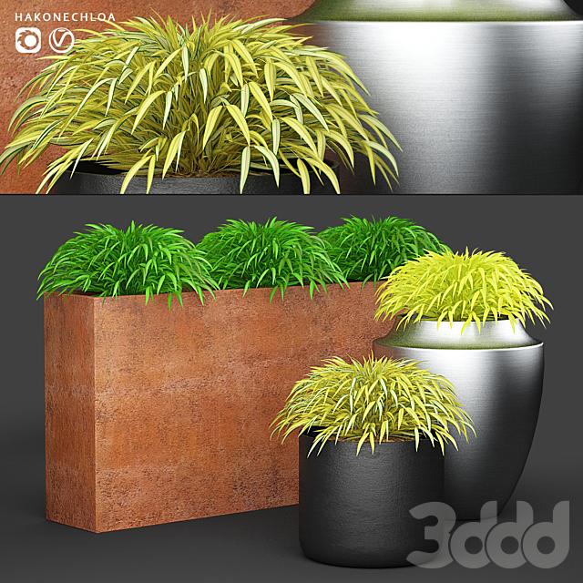 Трава в горшках   Hakonechloa planter