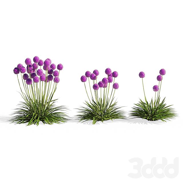 Allium Millenium Flower