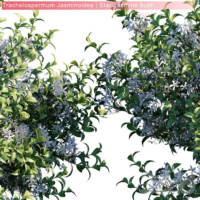 Trachelospermum Jasminoides | Star Jasmine | 3 module