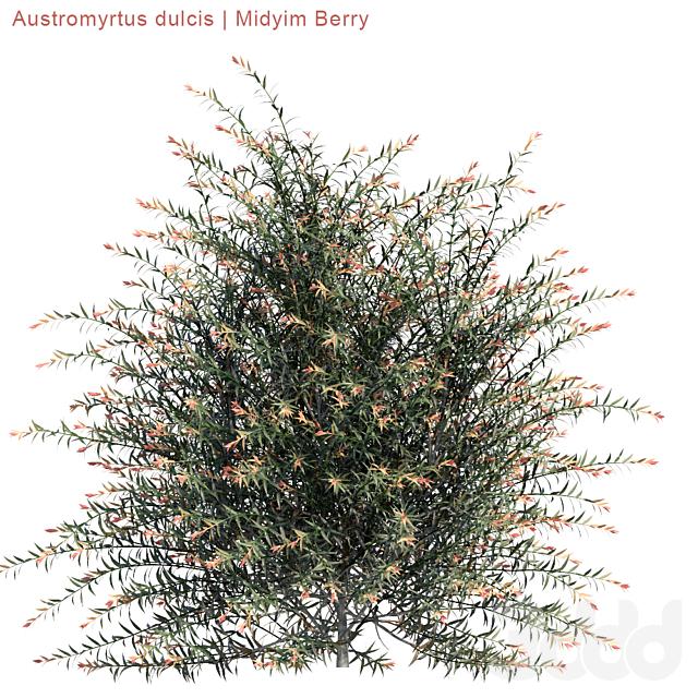 Austromyrtus dulcis | Midyim Berry