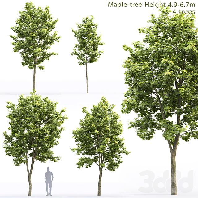 Клён   Maple-tree #11 (4.9-6.7m)