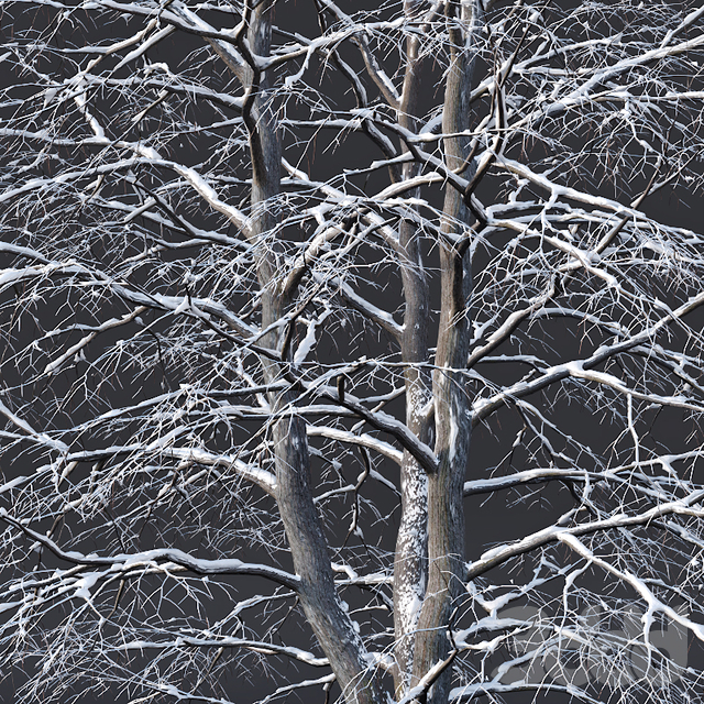 Tilia europaea #6. H7-9m. Three winter tree set
