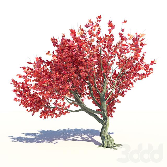 Клен красный Ред Сансет / Acer Red Sunset
