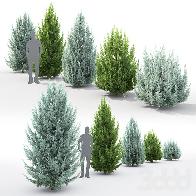 Можжевельник скальный | Juniperus scopulorum #3