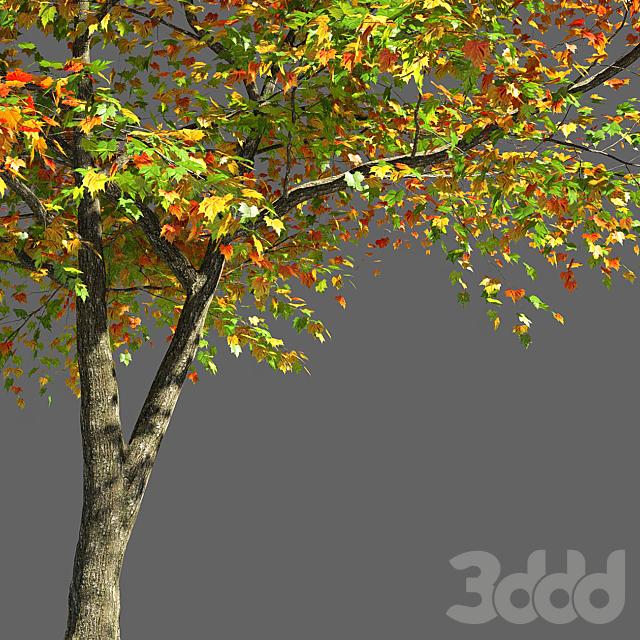 Maple Tree 2