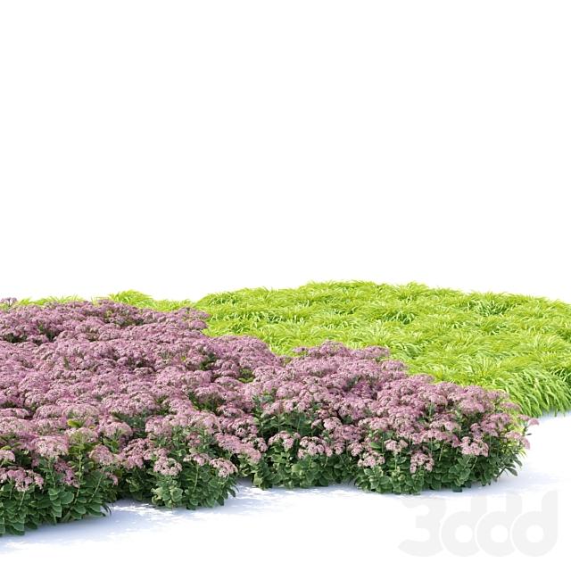Седум Очиток цветы | Sedum spectabile