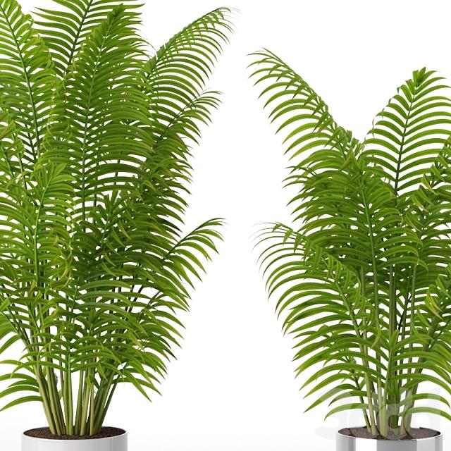 Areca Howeia palms