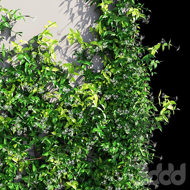 Trachelospermum jasminoides 1