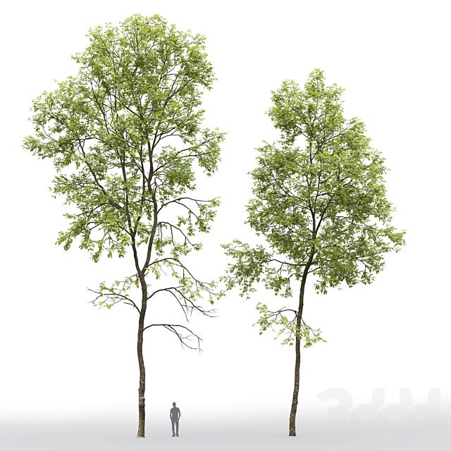 Ясень | Ash-tree #6 (19.8-22.6m)