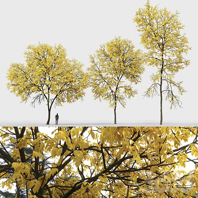 Ясень осенний   Ash-tree autumn #1_2 (13.1-18.2m)