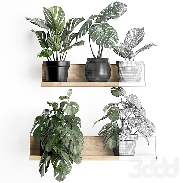 Коллекция растений 403. Monstera