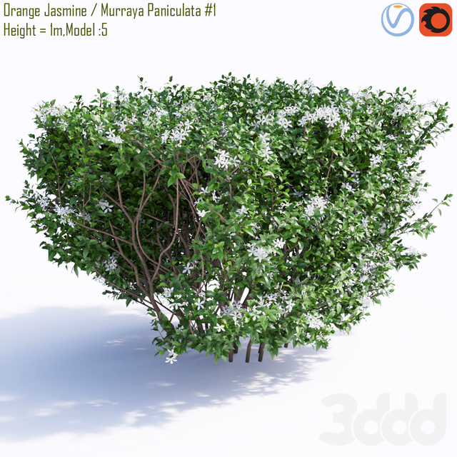 Orange Jasmine / Murraya Paniculata #1