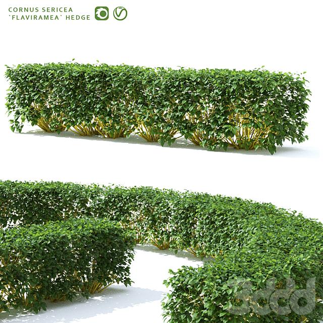 Дерен живая изгородь | Cornus sericea `Flaviramea`