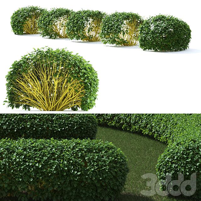 Дерен живая изгородь #2    Cornus sericea `Flaviramea`