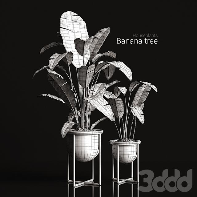 Houseplants Banana tree
