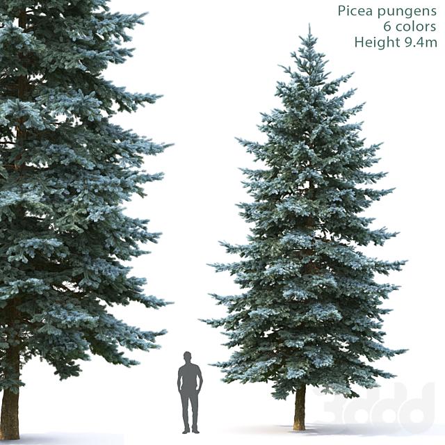 Ель   Picea Pungens #5 (9.4m)