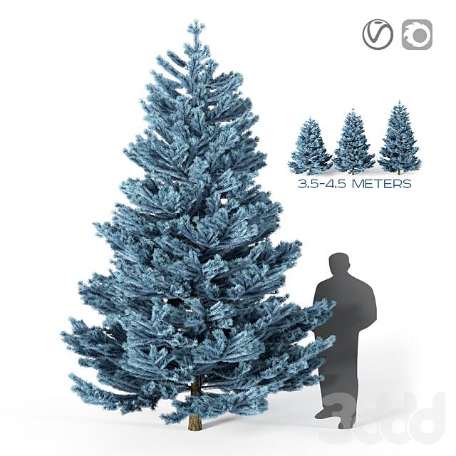 Голубая ель  (4 метра)