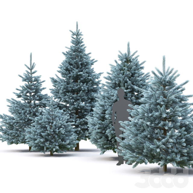 Ель | Picea Pungens #7 (4.5-1.8m)