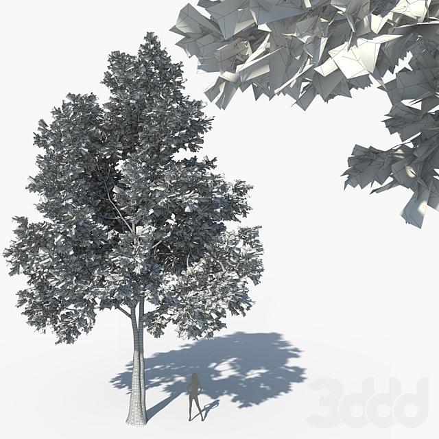 Norway Maple (Acer platanoides) 13 m