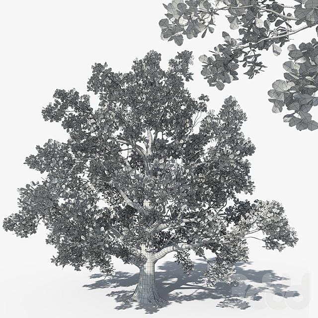 Pedunculate Oak (Quercus Robur) 16m