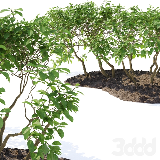 Граб обыкновенный кусты | Carpinus betulus shrubs #5
