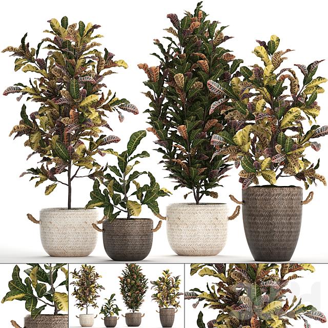 Коллекция растений 432. Кротон.