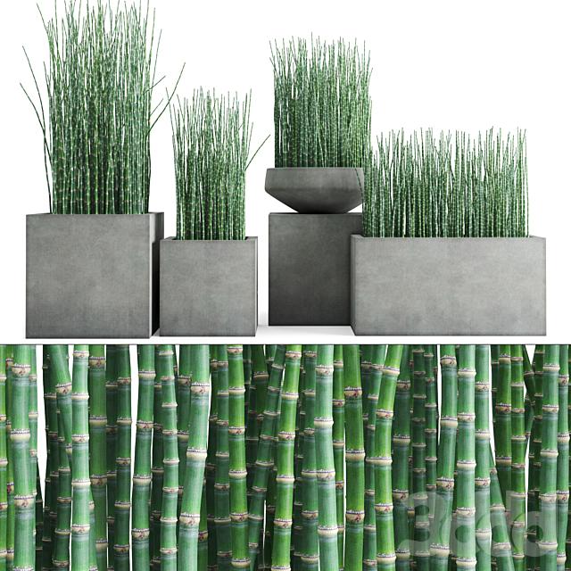 Хвощ зимующий в бетонных горшках/Equisetum hyemale in concrete planters