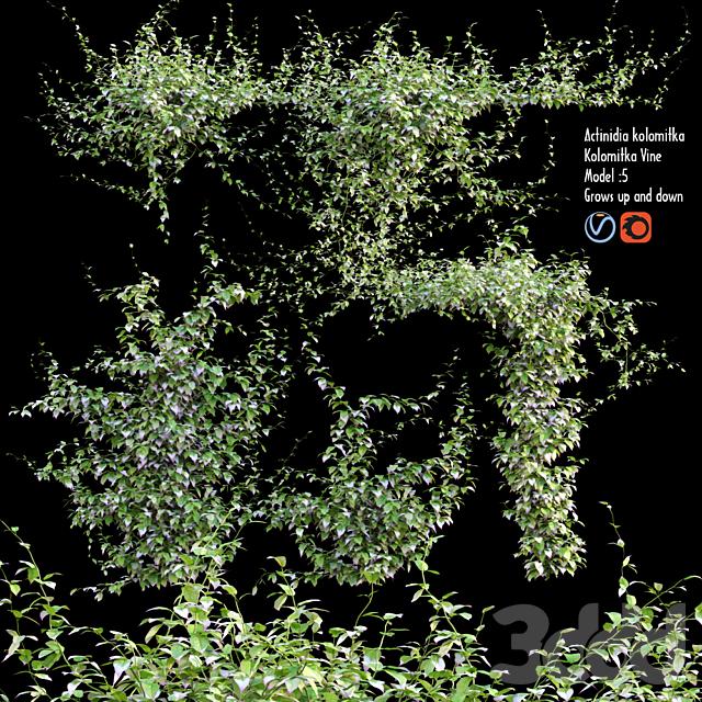 Actinidia kolomitka | Kolomitka Vine #1