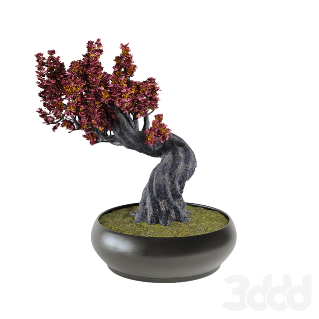 Decor japanese maple