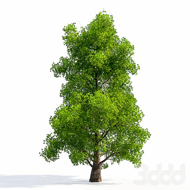 Silver Maple Tree 01