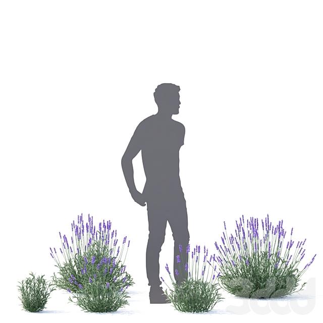 Лаванда узколистная цветы   Lavandula angustifolia