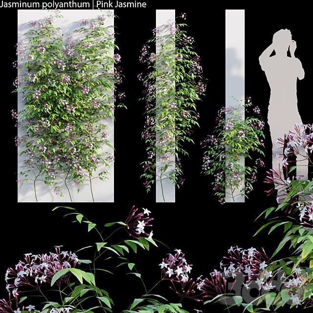 Jasminum polyanthum | Pink Jasmine 02