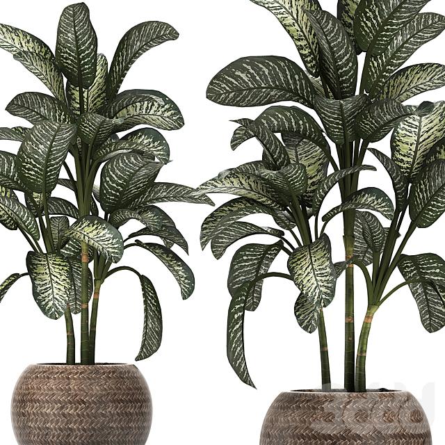 Коллекция растений 455. Dieffenbachia