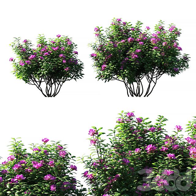 Rhododendron ponticum pink flower