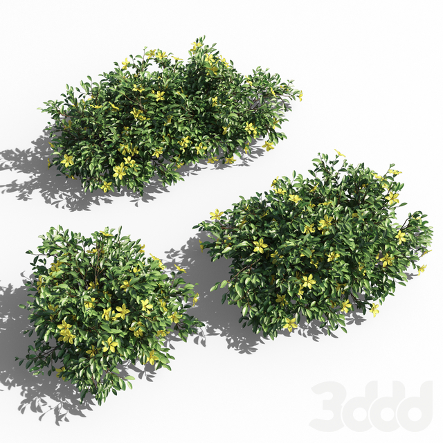 Hibbertia Scandens bush