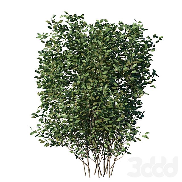 Cherry Bush