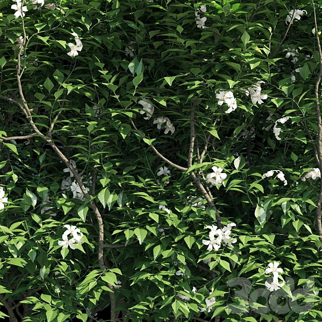 Murraya paniculata hegde