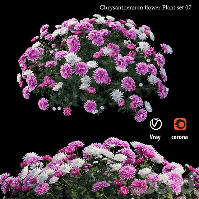 Chrysanthemum flower Plant set 07