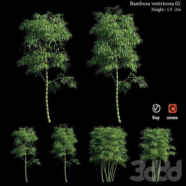 Bambusa ventricosa 02