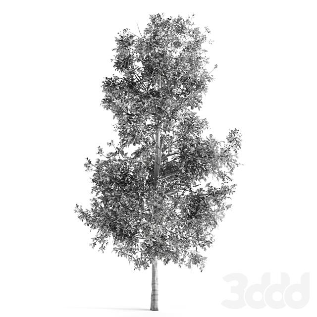 Sorrel tree